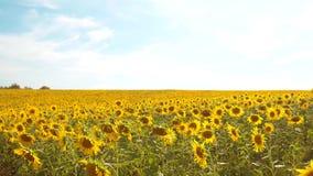 黄色花的美好的向日葵向日葵领域在蓝天风景背景的  慢动作录影 很多 股票录像