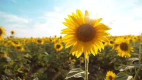 黄色花的美好的向日葵向日葵领域在蓝天风景背景的  慢动作录影 很多 影视素材