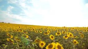 黄色花的美好的向日葵向日葵领域在蓝天风景背景的  慢动作录影 很多 股票视频