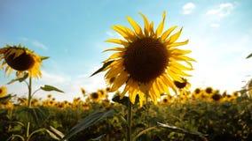 黄色花的美好的向日葵向日葵领域在蓝天风景背景的  慢动作录影 A 股票录像