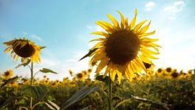 黄色花的美好的向日葵向日葵领域在蓝天风景背景的  慢动作录影 股票录像