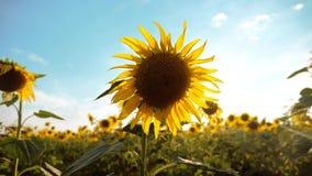 黄色花的美好的向日葵向日葵领域在蓝天风景背景的  慢动作生活方式 股票视频