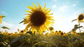 黄色花的美好的向日葵向日葵领域在蓝天风景背景的  生活方式慢动作 股票视频