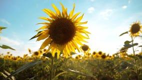 黄色花的美好的向日葵向日葵领域在蓝天风景背景的  缓慢的生活方式行动 股票录像