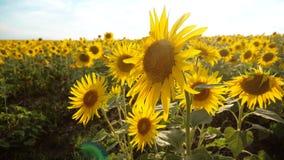 黄色花的美好的向日葵向日葵领域在蓝色生活方式天空风景背景的  慢的行动 股票视频