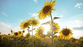 黄色花的美好的生活方式向日葵向日葵领域在蓝天风景背景的  慢的行动 股票录像