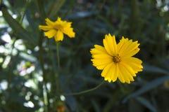 黄色花硫磺波斯菊 免版税图库摄影