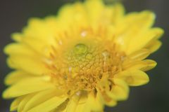 黄色花纹理、宏观样式、好看照片从一朵花在宏指令与露水或水下落对此 库存照片