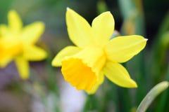 黄色花美丽的花束  免版税库存照片