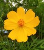 黄色花美丽自然风景和适用于墙纸 库存图片