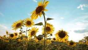 黄色花美好的向日葵向日葵领域生活方式在蓝天风景背景的  慢的行动 股票视频