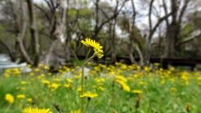 黄色花草甸,一朵花大于其他 免版税库存照片