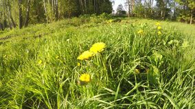 黄色花迅速移动和森林在晴天 股票录像