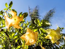 黄色花通过在一个庭院的阳光和蓝天背景在威尼斯靠岸,洛杉矶, LA,加利福尼亚,加州 免版税库存照片