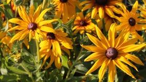 黄色花黄金菊在摇摆从微风的庭院里,夏天好日子 股票视频