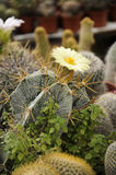 黄色花,仙人掌。 免版税库存照片