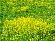 黄色花,山芥,绽放 库存照片