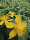 黄色花,被弄脏的背景 免版税库存照片