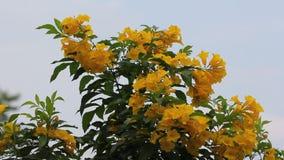 黄色花,黄色长辈,黄色喇叭花 股票视频