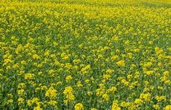 黄色芸苔napus的领域 捷克横向 库存照片