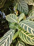 黄色芽花绿色条纹叶子 免版税库存照片
