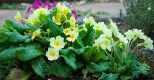 黄色英国报春花,樱草属寻常在花床上 免版税库存照片