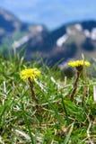 黄色草花的关闭在山的草地 库存图片