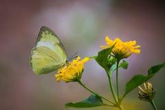 黄色草蝴蝶坐花植物在它的自然生态环境 免版税库存照片