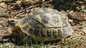 黄色草龟 免版税库存照片
