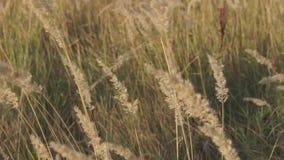 黄色草,在沼泽的地形踌躇的黄色草在风 股票录像