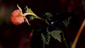 黄色莓-莓罕见的品种