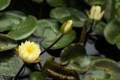 黄色莲花花在池塘,自然颜色,异乎寻常的植物的背景开花,水厂 热带,植物 库存照片