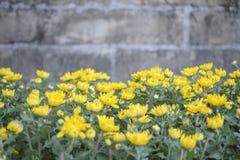 黄色菊花在庭院里 库存照片