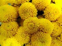 黄色菊花大花束的背景  免版税库存照片