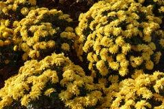 黄色菊花球状的灌木在11月 免版税库存照片