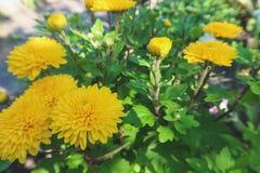 黄色菊花花 开花在庭院里 免版税库存图片