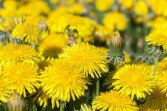 黄色蒲公英在春天 免版税库存照片