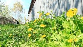 黄色蒲公英在绿草增长在篱芭下在村庄 影视素材