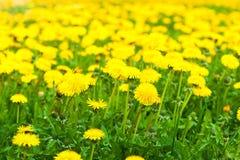 黄色蒲公英领域 图库摄影