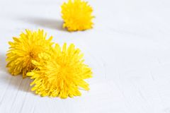 黄色蒲公英鲜花在白色背景的 在木桌,在花的焦点上的蒲公英在前面 库存照片