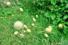 黄色蓟花和绿草 库存图片