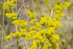 黄色蓬子菜或猪殃殃属verum开花特写镜头,选择聚焦,浅DOF 免版税图库摄影
