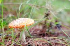 黄色蘑菇在有植物的森林里 库存照片
