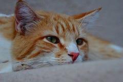 黄色虎斑猫眼睛 库存照片
