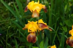 黄色虹膜在庭院里 免版税库存照片