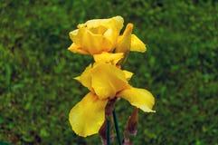 黄色虹膜在庭院里 库存图片