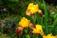黄色虹膜在庭院里 库存照片