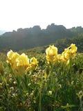 黄色虹膜鸢尾科在峭壁背景开花 免版税库存照片