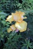 黄色虹膜 图库摄影