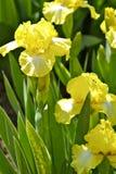 黄色虹膜 库存图片